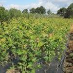 Jakie choroby zagrażały szkółkom roślin sadowniczych i ozdobnych w tygodniu 19