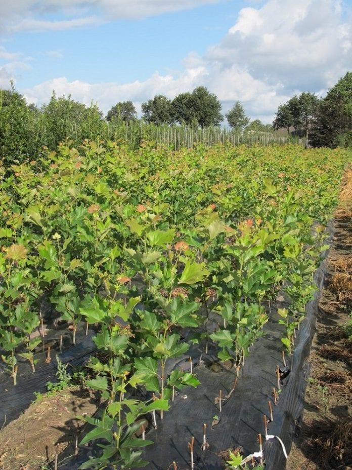 Platany rozmnażane z sadzonek zdrewniałych