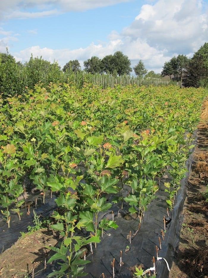 Rozmnażanie Za Pomocą Sadzonek Zdrewniałych Ogrodinfopl