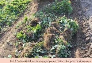 Sadzonki zielone świeżo wykopane z matecznika, przed sortowaniem