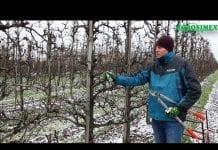 Robert Binkiewicz – Agrosimex – Pokaz zimowego cięcia grusz