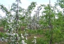 Przerzedzanie zawiązków jabłoni