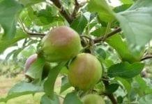 TRSK: druga wstępna prognoza zbiorów owoców