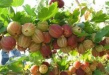 Towarowe i wdrożeniowe odmiany agrestu