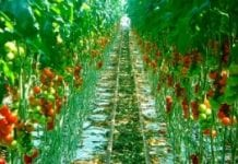 Producenci pomidorów inwestują