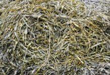 Sukces ekstraktów z alg