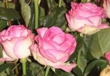 Róże z potencjałem (cz. I)