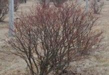 Odmładzanie krzewów borówki wysokiej