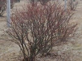 Odmładzanie Krzewów Borówki Wysokiej Ogrodinfopl