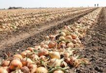 Duże zbiory cebuli w UE