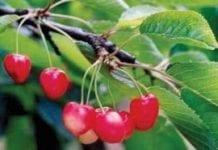 Rzadziej występujące wirusy oraz fitoplazmy i wiroidy drzew pestkowych