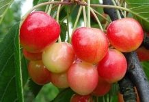 Uszkadzają owoce czereśni
