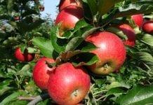 Jakie są szanse na opłacalną produkcję jabłek?