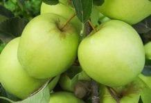 Perspektywiczne jabłka