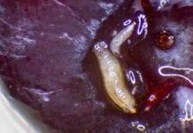 Muszka plamoskrzydła – mały szkodnik, wielki problem