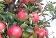 Deficyt jabłek we Francji