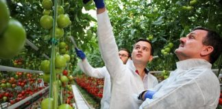 Pomidory gronowe w podkaliskiej szklarni