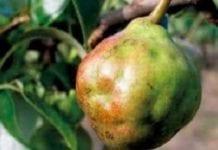 Zasady zasilania drzew owocowych składnikami mineralnymi