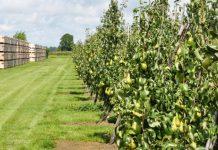 W Holandii zebrano prawie o połowę więcej gruszek niż jabłek