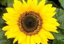 Holenderscy konsumenci rozpoznają… trzy kwiaty