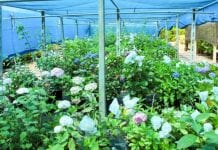 Hortensje pod kolorowymi cieniówkami
