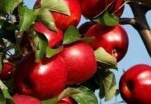 Prognosfruit – pierwsze prognozy zbiorów