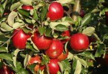 Co czwarte unijne jabłko jest z Polski