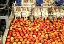Sytuacja na europejskim rynku jabłek w sezonie 2017/2018