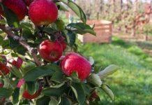 zbiory jabłek -