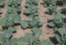 Chroń warzywa kapustne przed chwastami jednoliściennymi
