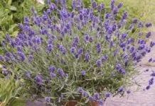 Lawenda – modna roślina