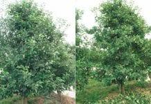 Letnie cięcie jabłoni