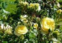 Najwspanialsze róże