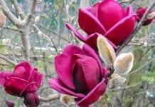 Doceniony hodowca magnolii