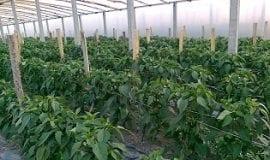 Nawożenie warzyw w tunelach