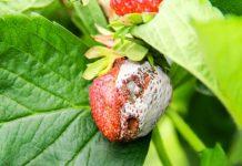 Choroby truskawki i krzewów owocowych