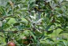 Nowy fungicyd do ochrony jabłoni i gruszy