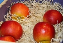 Odmiany jabłoni odporne na parcha poszukiwane
