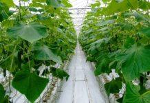 Więcej niszowych upraw w rosyjskich szklarniach