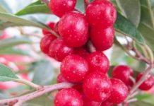 """""""Nowa"""" roślina jagodowa"""