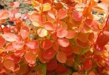 Berberys Thunberga 'Orange Ice'