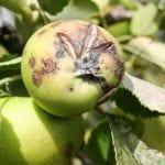 Nowy fungicyd w ochronie jabłoni i gruszy