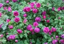 Produkcja róż na płatki