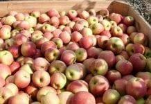 Spadnie opłacalność produkcji jabłek?