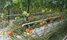 Ważne w produkcji pomidorów jesienią
