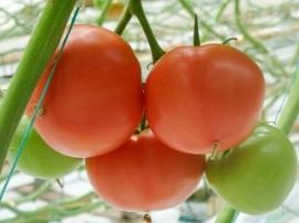 Pomidory Malinowe Do Tuneli Ogrodinfopl