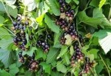 410 zł za hektar – pomoc dla producentów porzeczek i wiśni
