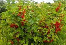 """Opłacalna produkcja """"eko"""" truskawki, maliny i  czerwonej porzeczki"""