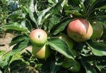 Znamy już prognozy zbiorów jabłek i gruszek w Europie