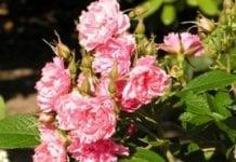 Róża pomarszczona – stare i nowe odmiany (cz. II)